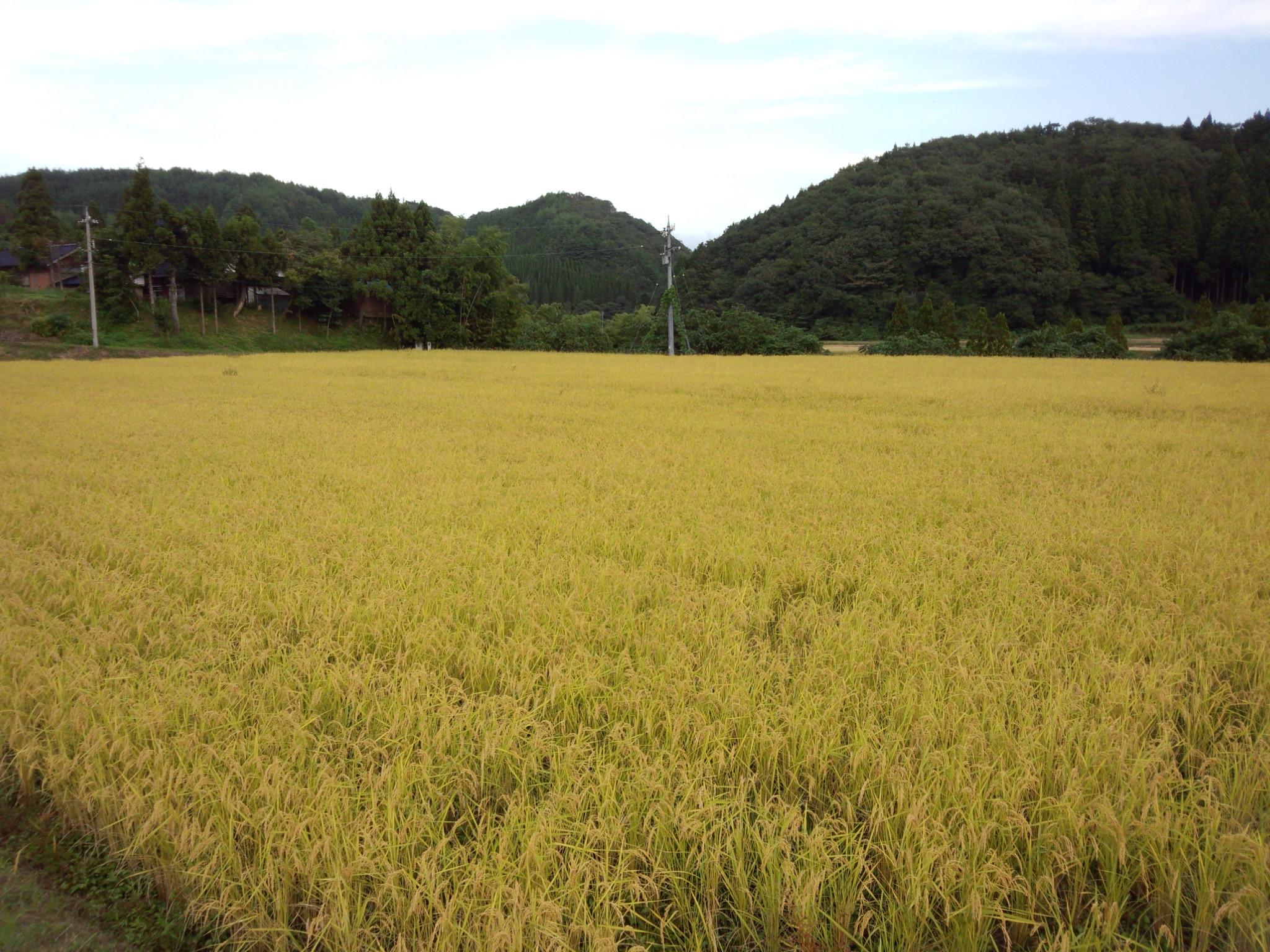 お米その1.jpg