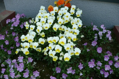 6月の金沢大地の花壇