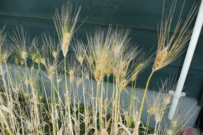 6月の金沢大地の花壇の大麦・・・もう刈り取られちゃった