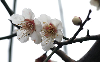 金沢大地の梅:有機米で卒業祝い