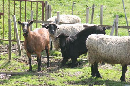 金沢大地のヤギさん羊さん