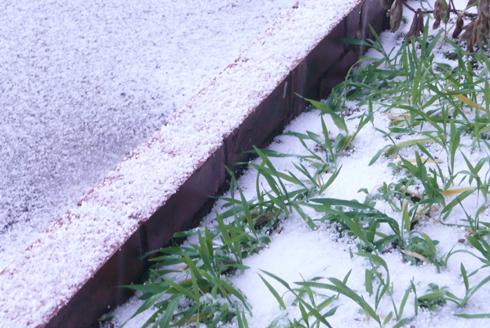 金沢大地の花壇の小麦も雪で覆われています