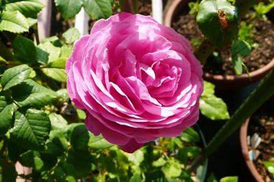 野良魔女の庭・・・6月のバラ
