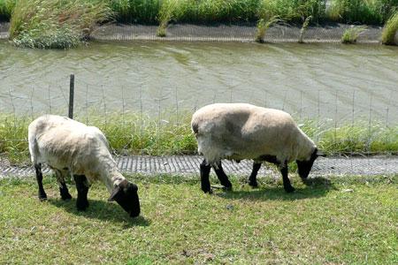 2009年6月羊の草原