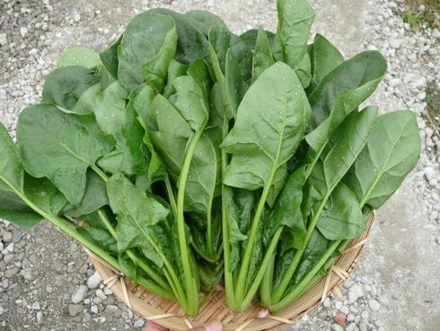 金沢大地の無農薬野菜ほうれん草