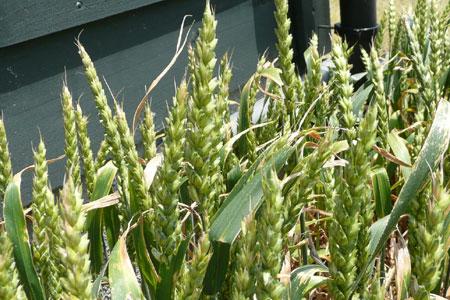 金沢大地の花壇は小麦が実ってきた