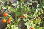スタッフのプチトマト