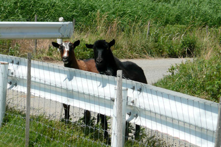 6月の農場の羊たち