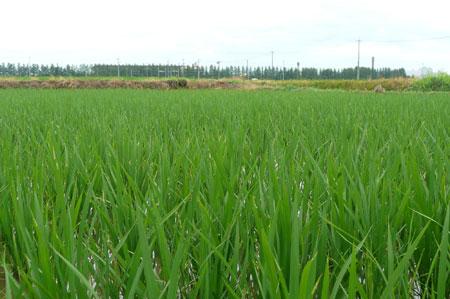 梅雨の有機米